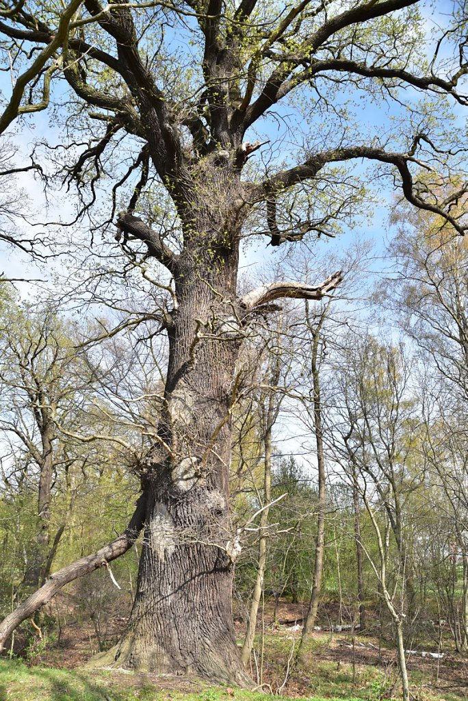 Napoeloneiche (Quercus robur), Umfang 5,63 m